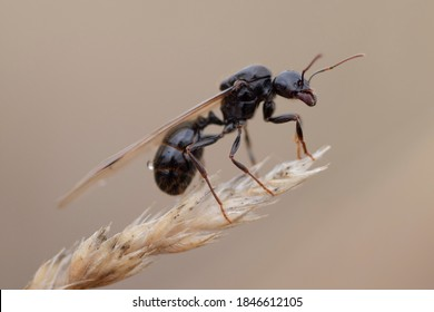 Large flying ant on cereal
