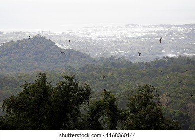 Large fruit bats fly in the mountains above Apia, Samoa
