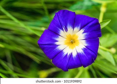 Large funnel-shaped blue morning glory flower close-up. Natural plant background with limited depth of field.