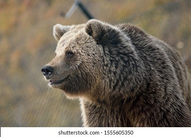 A large, furry brown bear in a wildlife sanctuary in Pristina, Kosovo