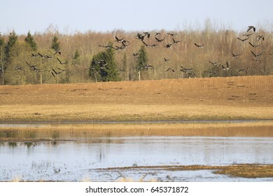 A large gaggle on the field, geese