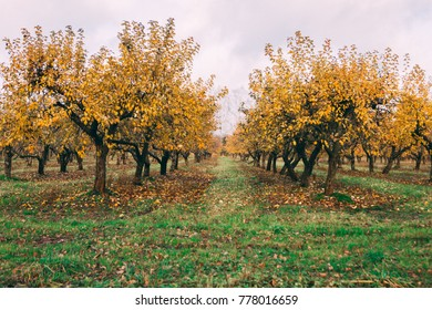 a large garden of apple trees without leaves and people in the fall. fallen apples on the ground.