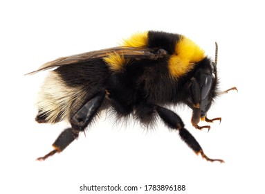 Large garden bumblebee isolated on white background, Bombus ruderatus
