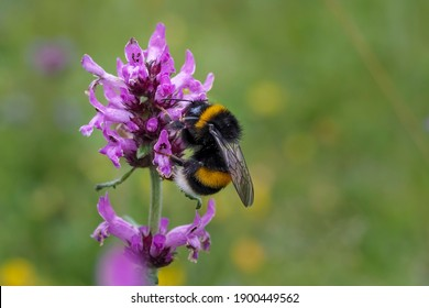 The large garden bumblebee or ruderal bumblebee (Bombus ruderatus) , beatiful photo