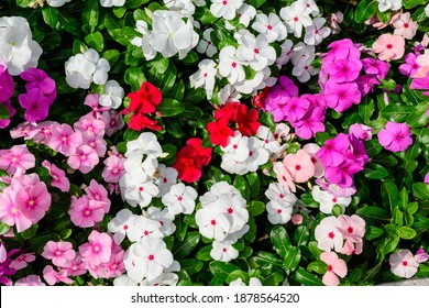 Large garden pot with vivid pink, red and white Impatiens walleriana flowers known as  busy Lizzie, balsam, sultana, or impatiens, in full bloom in a summer garden