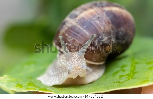 Large garden snail on a green leaf looks at the camera