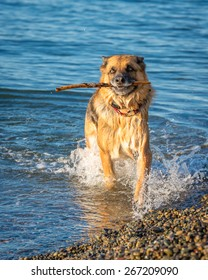 Large German Shepherd plays fetch in the waters of Puget Sound.