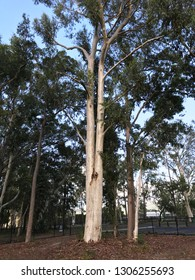 Large ghost gum tree in forest in Queensland, Australia