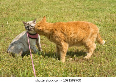 Large ginger tabby cat sniffing on a small Siamese outdoors