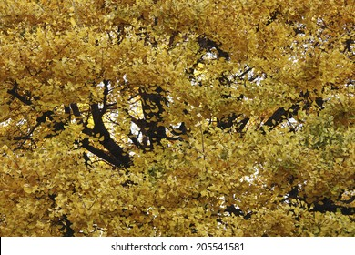 Large Ginko Tree Of The Temple