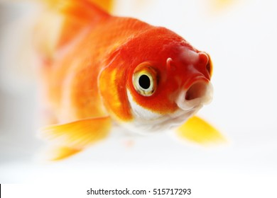 Large goldfish in small bowl