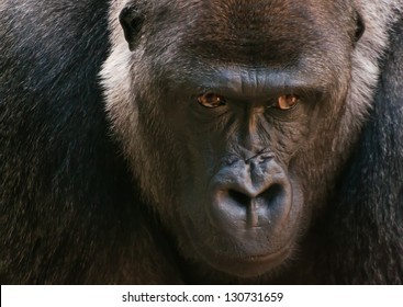 Large Gorilla face with emotional thinking expression