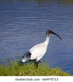 A large graceful  sacred ibis Threskiornis aethiopicus walking by a cool blue lake on a winter morning is searching for food in the fresh water where small fish swim through underwater  grasses.