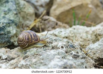 Large grape snail crawling on reef limestone