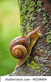 Large grape snail slowly creeps up to the tree