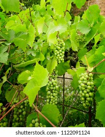 Large grapevine plant with fresh green grapes for wine.