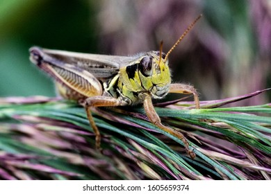 Large Grasshopper Perched on Evergreen or Pine Tree Branches