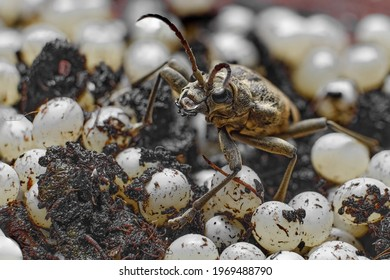 large gray barbel beetle coraeda, beetle on the background of eggs and bark wood close-up, blank for designer, natural texture and beautiful background