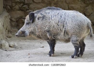 Large gray boar