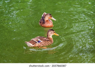 A large gray duck is swimming in the green water of the pond. Close up bird portrate . - Shutterstock ID 2037860387