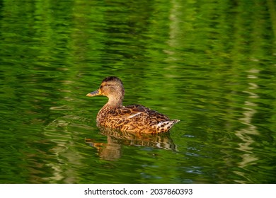 A large gray duck is swimming in the green water of the pond. Close up bird portrate . - Shutterstock ID 2037860393