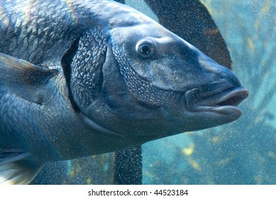 Large gray fish surrounded by small bubbles