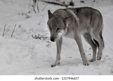 Large gray wolf in the snow. wolf sneaks