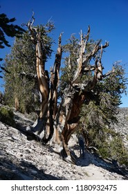 A large Great Basin Bristlecone Pine tree with multiple trunks towers over a solo female hiker at high altitude on the Methuselah Grove trail in California's White Mountains.