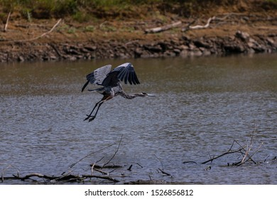 A large Great Blue Heron with its large, elegant wings curved up above it as it takes off from a lake full of branches and twigs due to low summer water levels.