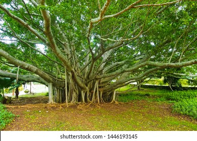 A large green banyan tree near crystal cave Bermuda