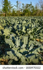 Large green broccoli ready to be picked in a sunny field in Quebec Canada