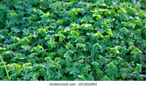 Large green clover field in forest .background of four leaf clover