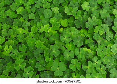 Large green clover field in forest