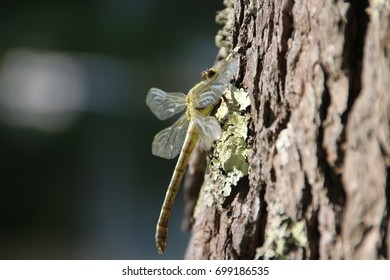 Large Green Dragonfly Resting on a Tree