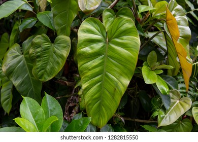 A large green elephant ear plant leaf (Colocasia) in a jungle forest on the big island of Hawaii.