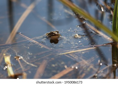 A large green frog in its natural habitat. Amphibian in water. Beautiful toad frog.