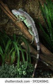 A large Green Iguana male resting on a branch in the jungles