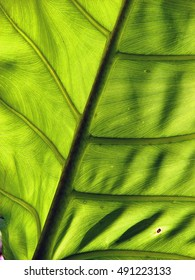 Large green leaf showing veins and pattern