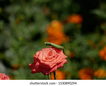 A large green mantis lurked on a pink rose flower on a bright Sunny day. A large insect waits for prey on a rose flower in a flower bed.