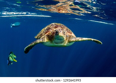 Large Green Sea Turtle (Chelonia mydas) near the surface in a tropical ocean (Similan Islands)