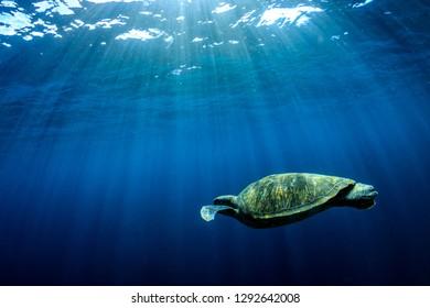Large Green Sea Turtle (Chelonia mydas) near the surface in a tropical ocean (Similan Islands)