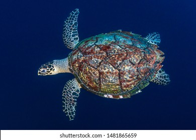 A large Green Sea Turtle (Chelonia Mydas) on a tropical coral reef in the Philippines