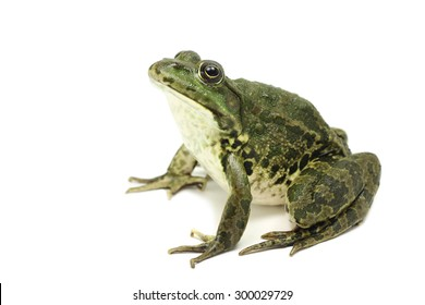 large green spotted frog on white background