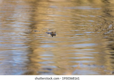 A large green toad frog in its natural habitat. An amphibian swims on the surface in the water.