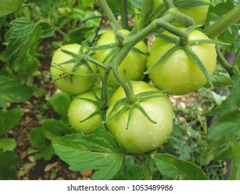 Large green tomatoes still on the vines.