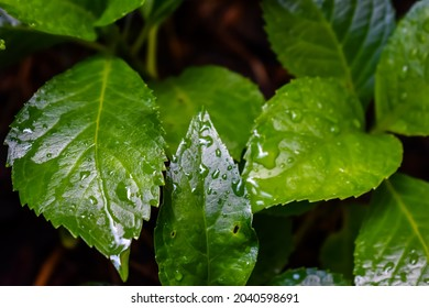 Large green wet leaves in the rain.