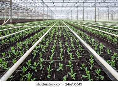 Large greenhouse full of small Lisianthus plants.