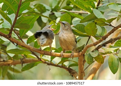 Large grey babbler with chick crying for food.
