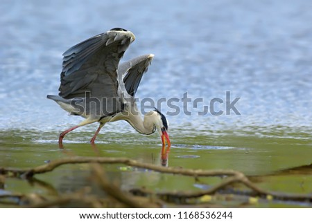 Large Grey Heron Bird Ardea Cinerea Stock Photo Edit Now
