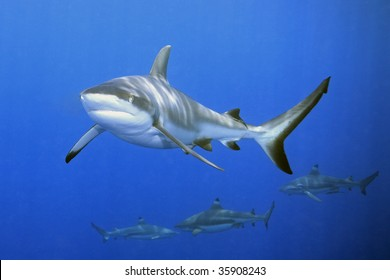 a large grey reef shark showing the mouth and teeth. There are three blacktip reef sharks in the background